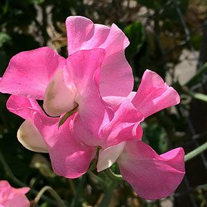 Fragrant Sweet Pea