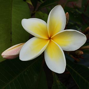 Frangipani Tree in Flower