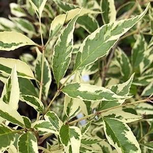 Fraxinus pennsylvanica albomarginata