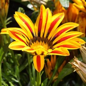 Gazania - Wholesale variety