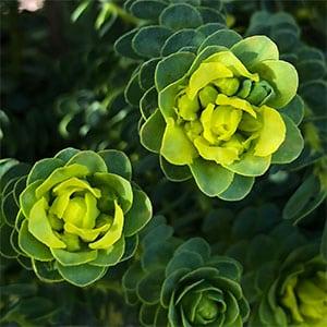 Geleznowia verrucosa - Yellow Bells