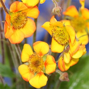 Geum Plant In Flower