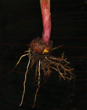 Gladioli Bulb