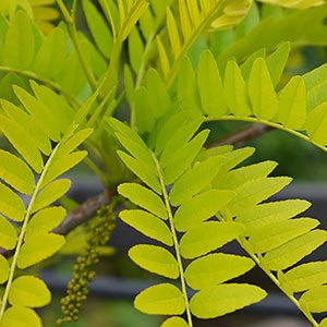 Gleditsia triacanthos 'Sunburst' - Golden Honey Locust