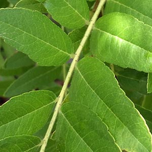 Gleditsia triacanthos var. intermedia 'Sunburst'