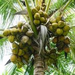 Green hybrid  Dwarf coconut tree