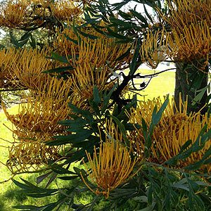 Grevillea robusta - The Silky Oak