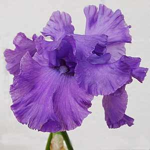 growing-bearded-iris