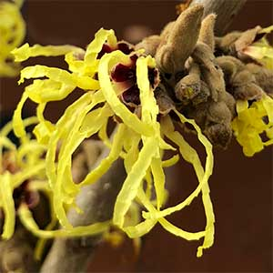 Hamamelis x intermedia - Witch Hazel Flower