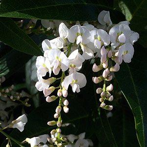 Hardenbergia violacea - White Flowering
