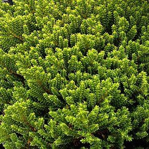 Hebe variety - Emerald Green