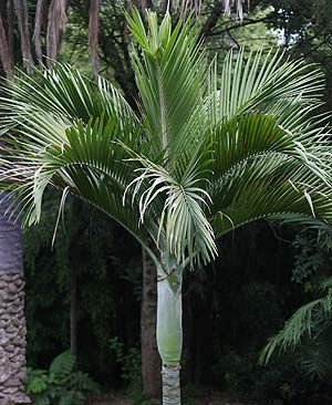 Hedyscepe canterburyana - The Umbrella Palm
