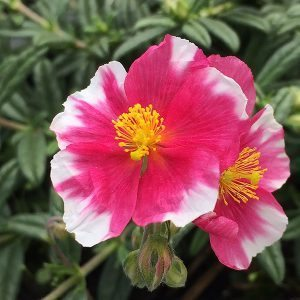 Helianthemum nummularium 'Raspberry Ripple'