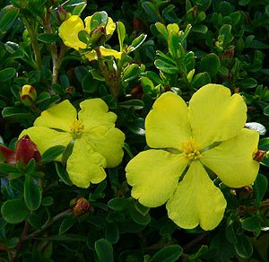 Hibbertia species