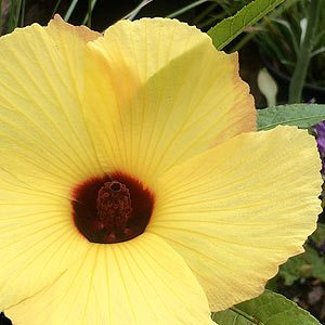 Hibiscus heterophyllus 'Lutea'
