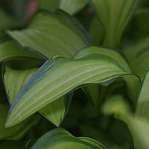 Hosta sieboldii 'Kabitan' A great plant for shade