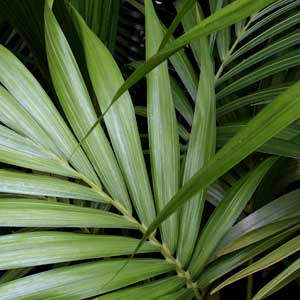 Howea forsteriana - Kentia Palm