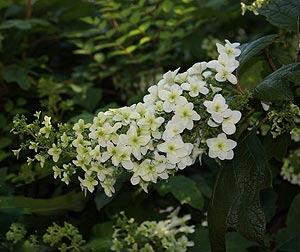 Hydrangea- quercifolia Alice