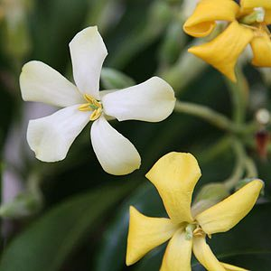 Hymenosporum Flavum - The Native Frangipani