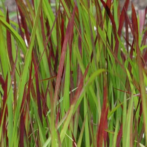 Imperata cylindrica rubra - Japanese Blood Grass