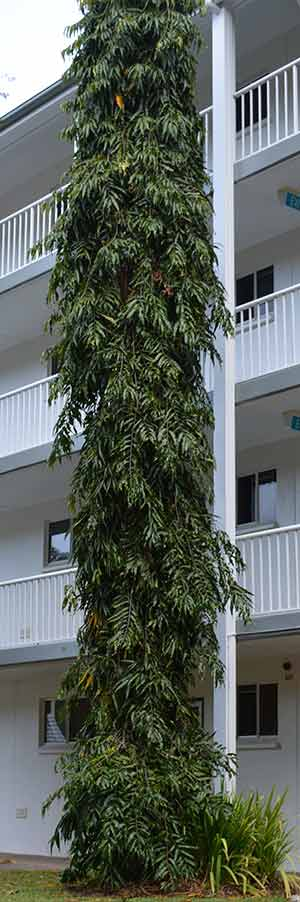 Indian Mast tree