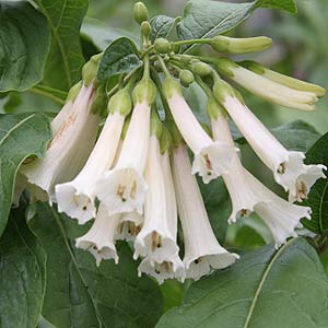 White Flowering Iochroma