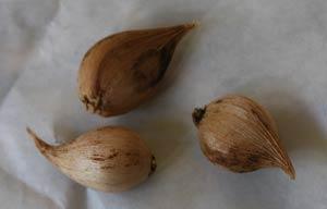 Iris reticulata bulbs