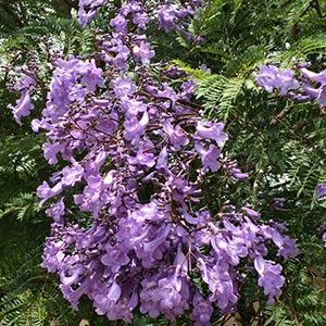 Jacaranda mimosifolia - Jacaranda Tree