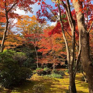 Japanese Maples - Brilliant Autumn Foliage