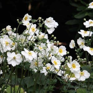 White Japanese Windflowers