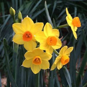 Jonquil Bulbs in Flower
