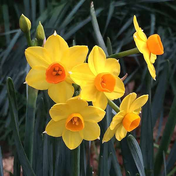 Jonquil Bulbs Care And Varieties Nurseries Online