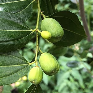 Jujube Tree Fruit - Li Variety