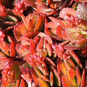Kalanchoe blossfeldiana, Variety -  'Candy Canes'