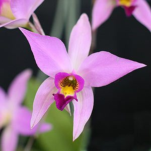 Laelia anceps - on of the easy Laelia Orchids to grow