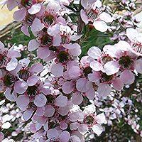 Leptospermum 'Pink Cascade'