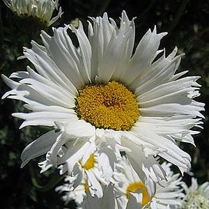 Leucanthemum x Superbum - Chiffon Shasta Daisy