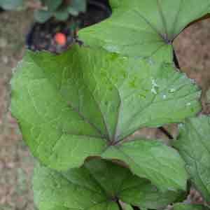 Ligularia