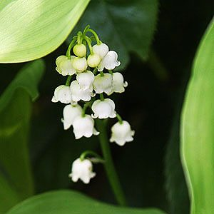 lily-of-the-valley-care