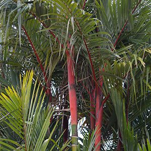 Lipstick Palm - Foliage and Crown Shaft