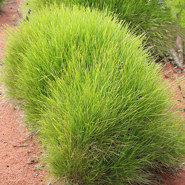 Growing Australian Native Plants: Lomandra Confertifolia