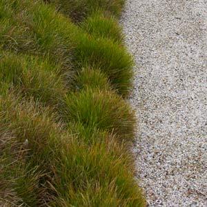 Lomandra confertifolia