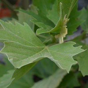 London Plane Tree Leaf