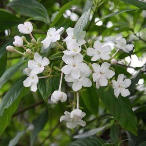 Luculia White Frill - Winter fragrant