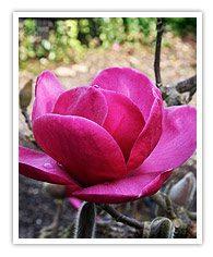 Magnolia Felix