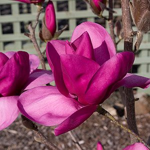 Magnolia Royal Purple