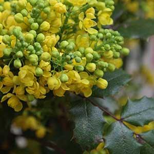 Mahonia aquifolium - Flower and Foliage
