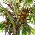 Malay red  Dwarf coconut tree