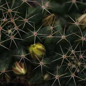 Mammillaria longimamma var. uberiformis