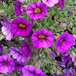 Calibrachoa purple - Million bells